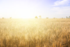 Wheat field on a Sunny day. Royalty Free Stock Photos