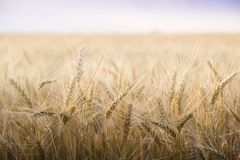 Wheat field on a Sunny day. Stock Image
