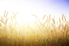 Wheat field on a Sunny day. Stock Images