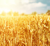 Wheat field in sunny day Royalty Free Stock Images