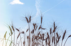 Wheat field at sunny day with blue sky as background Royalty Free Stock Photo