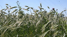 Wheat Field on a Sunny Day stock footage