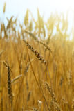 Wheat field, sunny day Royalty Free Stock Photography