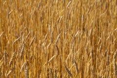 Wheat field, sunny day Royalty Free Stock Photos