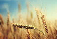 Wheat field and sunny day Royalty Free Stock Photos