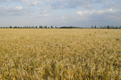 Wheat field in Sunny day Stock Photos