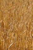 Wheat field, sunny day Stock Photo