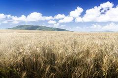 Wheat field on a Sunny day. Green mountains in the background. Royalty Free Stock Image