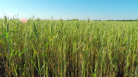 Wheat Field on a Sunny Day. Large Field of Green Cereals on a Sunny Day Against the Blue Sky stock footage