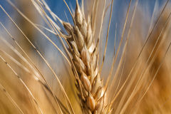 Wheat. Field on a sunny day with a large spikelets stock photos