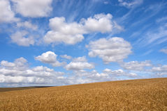 Wheat field on a sunny day Royalty Free Stock Images