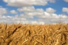 Wheat field on a sunny day Stock Photos