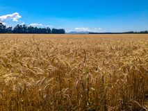 Wheat field on a sunny day, South Island of New Zealand stock photo