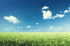 Wheat field and sunny day Royalty Free Stock Images