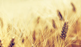 Wheat field and sunny day Stock Photos