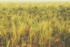 Wheat field in Sunny day,vintage Royalty Free Stock Images