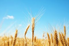 Wheat field on sunny day. Cereal farming royalty free stock photos
