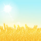 Wheat field on a Sunny morning. Vector illustration. Wheat field on a Sunny morning. Background Stock Photo