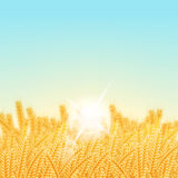 Wheat field on a Sunny morning. Vector illustration. Wheat field on a Sunny morning. Background Royalty Free Stock Photo