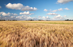 Wheat field in sunny summer day Royalty Free Stock Photo