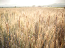 Wheat Field. Sunny wheat field on a Summer day. Cereal agriculture Stock Images
