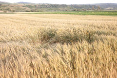 Wheat Field. Sunny wheat field on a Summer day. Cereal agriculture Stock Photo