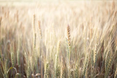 Wheat Field. Sunny wheat field on a Summer day. Cereal agriculture. Wheat detail Stock Photo