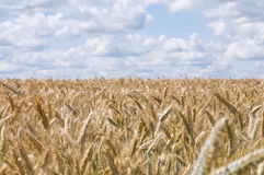 Wheat field. Sunny summer day over a field of wheat Royalty Free Stock Images