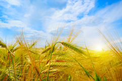 Wheat field and sunrise in the blue sky Royalty Free Stock Images