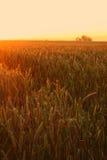 Wheat field sunrise Stock Photo