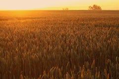 Wheat field sunrise Royalty Free Stock Image