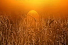 Wheat field at sunrise A Stock Photos