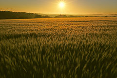 Wheat field at sunrise. Splendid sunrise image, a large wheat field enjoys its first contact with the warm morning sun on a day of May Stock Photo