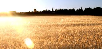 Wheat field on the sunrise of a sunny day Royalty Free Stock Image