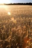 Wheat field on the sunrise of a sunny day Stock Image