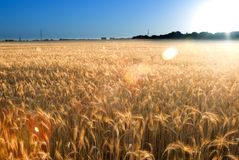 Wheat field on the sunrise of a sunny day Stock Photo