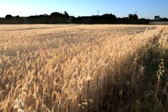 Wheat field on the sunrise of a sunny day Royalty Free Stock Images