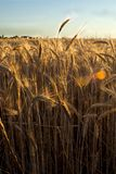 Wheat field on the sunrise of a sunny day Royalty Free Stock Photos