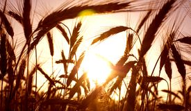 Wheat field on the sunrise of a sunny day Royalty Free Stock Photo