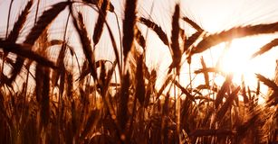 Wheat field on the sunrise of a sunny day Royalty Free Stock Photography