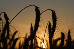 Wheat field at the sunset Royalty Free Stock Photos