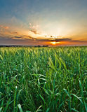 Wheat field at sunset. A green wheat field against a striking colorful sunset Royalty Free Stock Photography