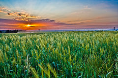 Wheat field at sunset. A green wheat field against a striking colorful sunset Royalty Free Stock Photo