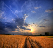 Wheat field on sunset royalty free stock image