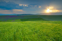 Wheat field and sunset. Magnificient sunset over a green wheat field and lavanda in the horizon (wavy foreground Stock Photography