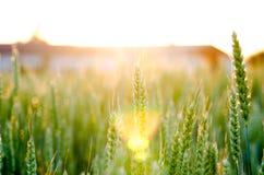 Free Wheat Field Sunset Royalty Free Stock Photo - 41698145