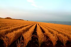 Wheat field in the sunset. Beautiful rows of wheat on Arbel mountain. israel Stock Photos