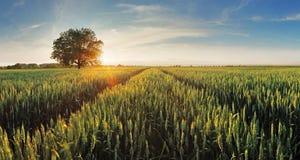 Wheat field at sunset Stock Photo