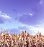Wheat field in the sunset. Beautiful wheat field in the sunset Royalty Free Stock Photos