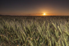 Wheat field at sunset Royalty Free Stock Photography